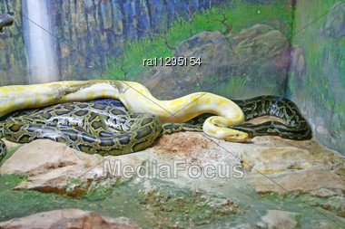 Colorful Python Snakes In The Zoo Stock Photo