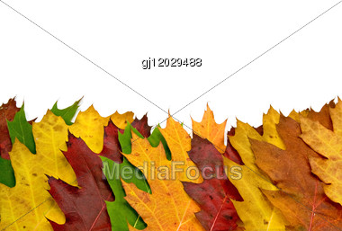 Colorful Vivid Maple Leaves Stock Photo