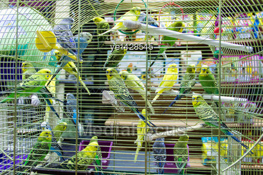 Colour Wavy Parrots In The Hutch Stock Photo