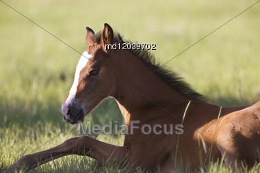 Colt Newborn In Field Sasktchewan Canada Mother Love Stock Photo