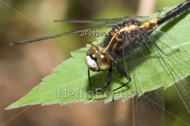 Common Darter Dragonfly Perched On A Leaf Stock Photo