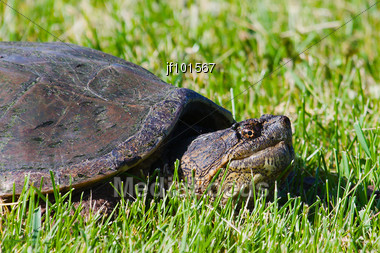 Common Snapping Turtles Walking In The Gress Stock Photo