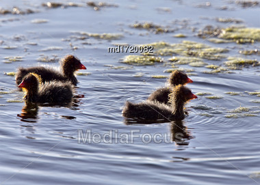 Coot Waterhen Babies In A Pond Canada Saskatchewan Stock Photo