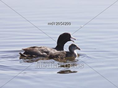 Coot Waterhen Babies In Pond In Saskatchewan Canada Stock Photo