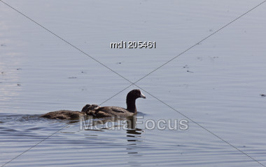 Coot Waterhen Babies In Pond In Saskatchewan Canada Stock Photo