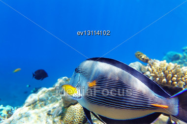 Coral And Fish In The Red Sea.Fish-surgeon.Egypt Stock Photo