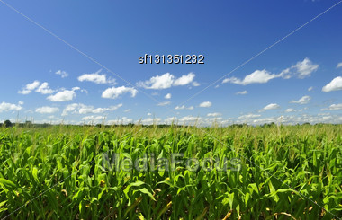 Corn Field And A Blue Sky Stock Photo