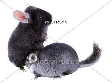 Couple Of Gray Ebonite Chinchilla On White Background. Isolataed Stock Photo