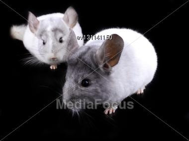 Couple Of White Ebonite Chinchilla On Black Background Stock Photo