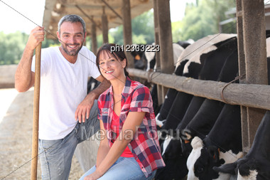 Cow Farmers Stock Photo