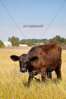 Cow On A Green Dandelion Field, Blue Sky Stock Photo