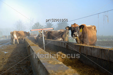 Cows Eating Silage At The Feed Pad After Milking On A Foggy Morning Stock Photo