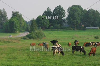 Cows Grazing In Green Meadow In Summer Day Stock Photo