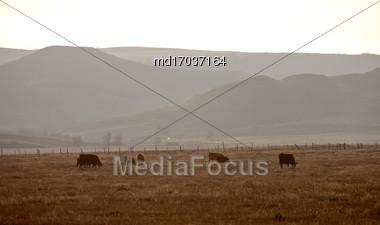 Cows Grazing Saskatchewan Big Muddy Badlands Stock Photo