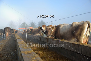 Cows Wait At The Feed Pad After Milking On A Foggy Morning Stock Photo