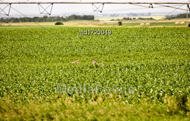 Coyote Couple In Field In Saskatchewan Canada Stock Photo