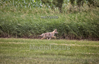 Coyote Pup Canada Against Wheat Crop Saskatchewan Stock Photo