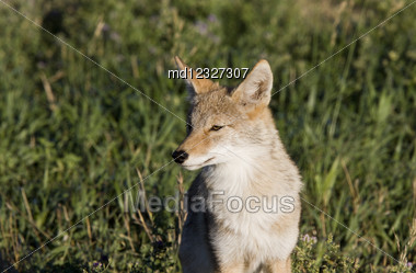 Coyote Saskatchewan Hunting In A Field Close Up Stock Photo