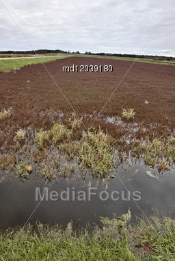 Cranberry Bog Wisconsin Field USA Juice And Jam And Spread Stock Photo