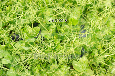 Cress Varieties Affilla On Artificial Substrate, Close-up Stock Photo