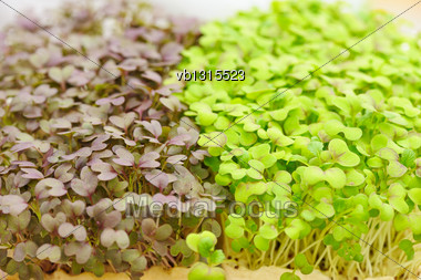 Cress Varieties Red Mustard On Artificial Substrate, Close-up Stock Photo