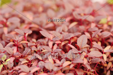 Cress Varieties Scarlet On Artificial Substrate, Close-up Stock Photo