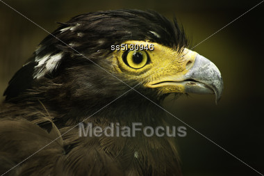 Crested Serpent Eagle In National Bird Park, Indonesia Stock Photo