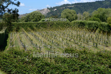 Crops Of Kiwifruit Or Chinese Gooseberry, Actinidia Deliciosa, Growing Near Nelson, New Zealand Stock Photo