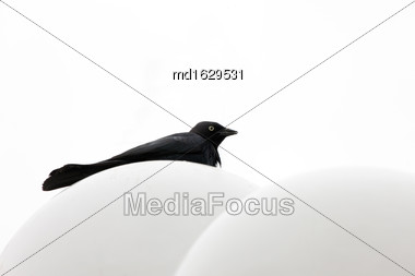 Crow Raven Against White Background In Saskatchewan Canada Stock Photo