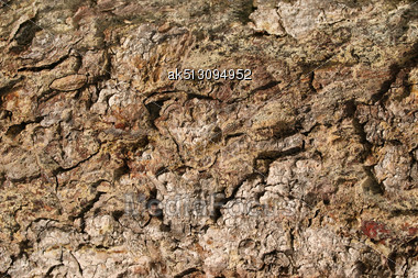 Crust Layer Of The Tree Stock Photo