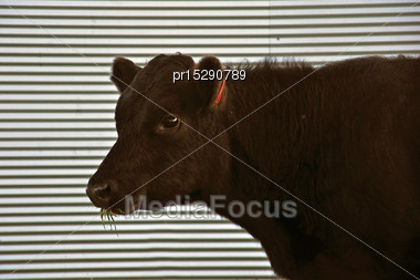 Cute Angus Yearling Calf, Westland, New Zealand Stock Photo