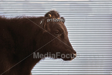 Cute Angus Yearling Calf, Westland, New Zealand Stock Photo