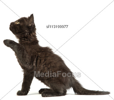Cute Black Small Kitten Isolated On A White Background Stock Photo
