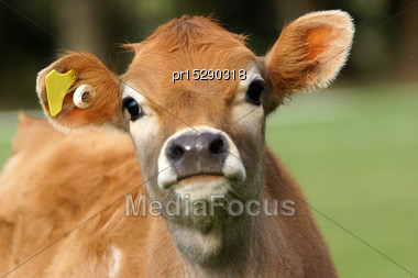 Cute Jersey Calf, Westland, New Zealand Stock Photo