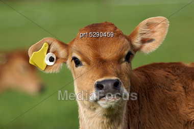 Cute Jersey Calf, Westland, New Zealand Stock Photo