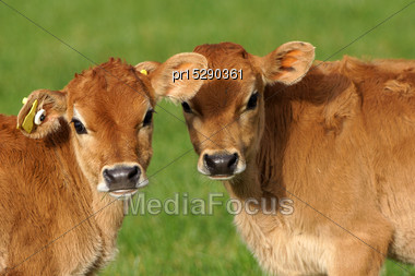 Cute Jersey Calves, Westland, New Zealand Stock Photo