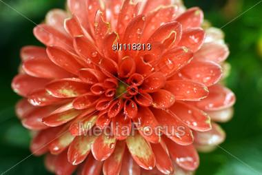 Dahlia in summer Stock Photo