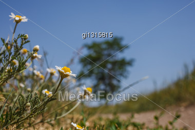 Daisy Field Against The Blue Sky And Trees Stock Photo