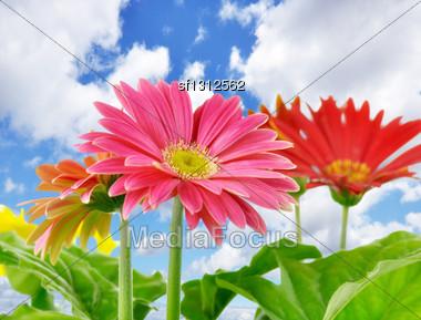 Daisy Flowers Close Up Over A Blue Sky Stock Photo