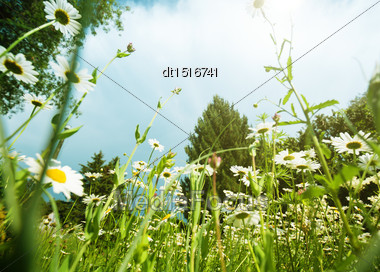 Daisy Meadow, Natural Landscape Stock Photo