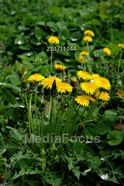 Dandelion Yellow Flower In Green Grass Stock Photo