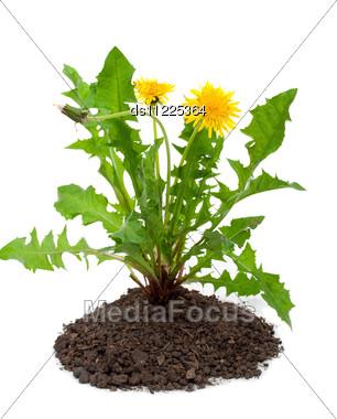 Dandelions (taraxacum Officinale) Stock Photo
