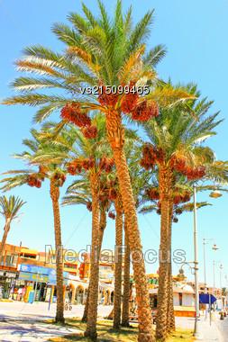 Date Palm At Sun Light Stock Photo