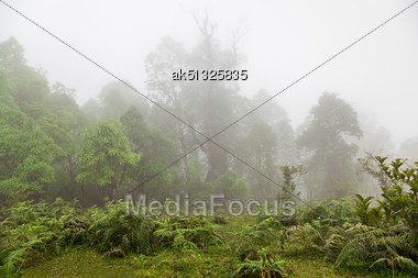 Deep Fog In The Forest, Himalayan Forest Stock Photo