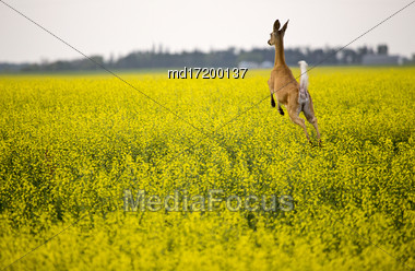 Deer In Canola Field Yellow Flower Crop Stock Photo