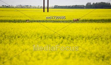 Deer In Canola Field Yellow Flower Crop Stock Photo