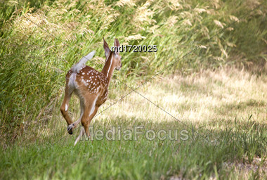 Deer Fawn Running In Saskatchewan Canada Stock Photo