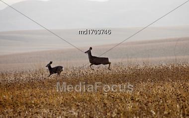 Deer In Field In Saskatchewan Canada Scenic Stock Photo
