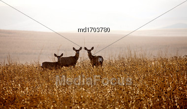 Deer In Field In Saskatchewan Canada Scenic Stock Photo