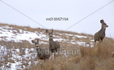 Deer In Field In Saskatchewan Canada Winter Stock Photo